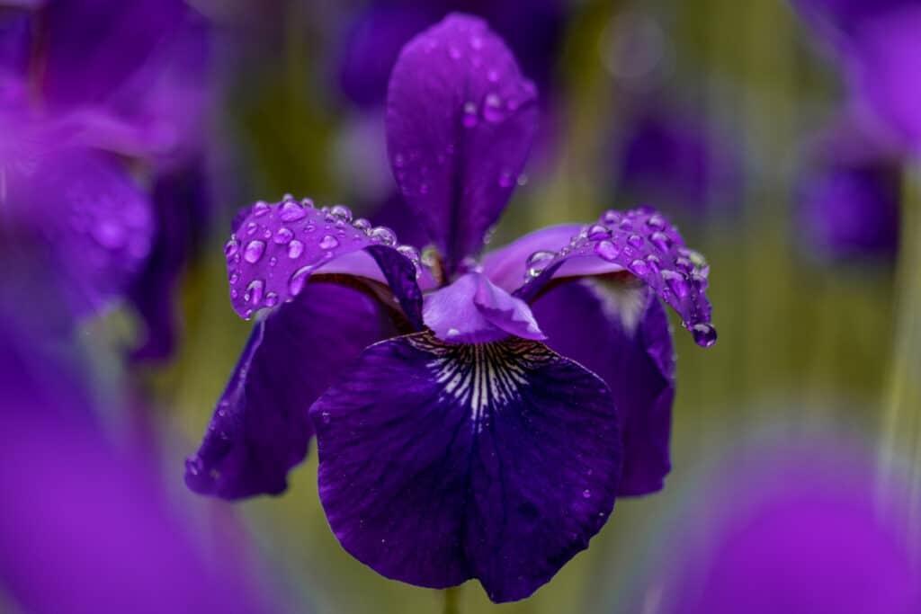 iris 25th anniversary party flower