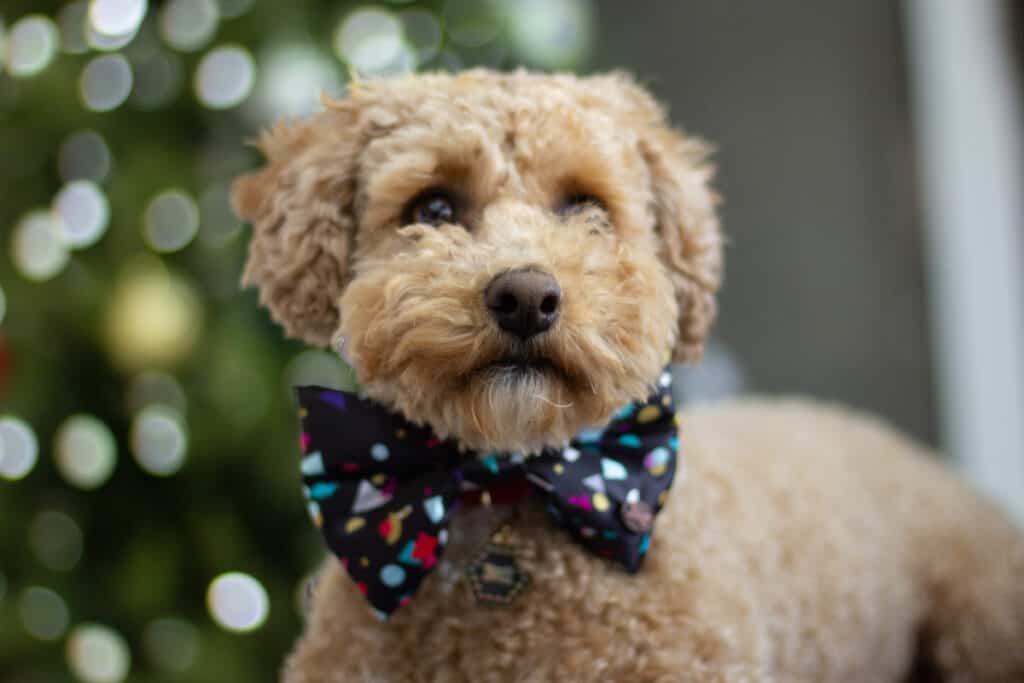 pet fashion dog in bow tie