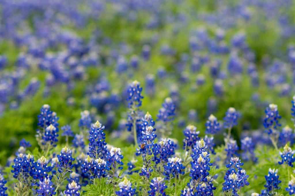 bluebonnet flower field