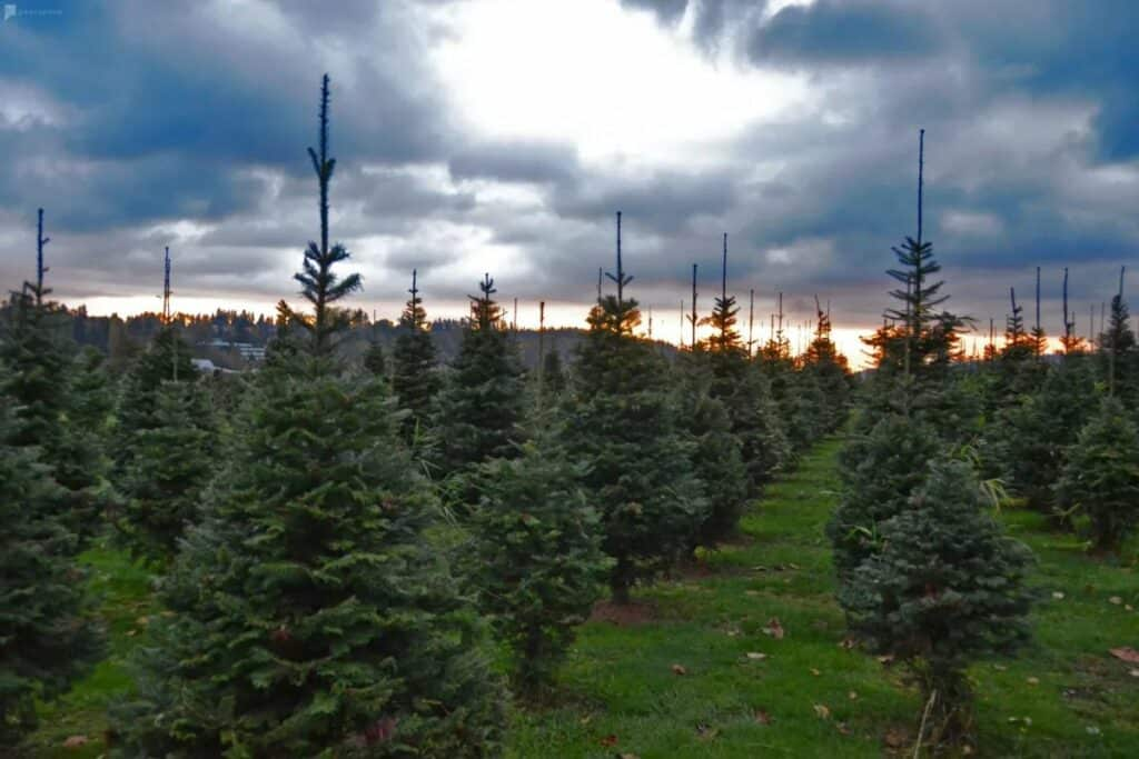 organic christmas tree farm
